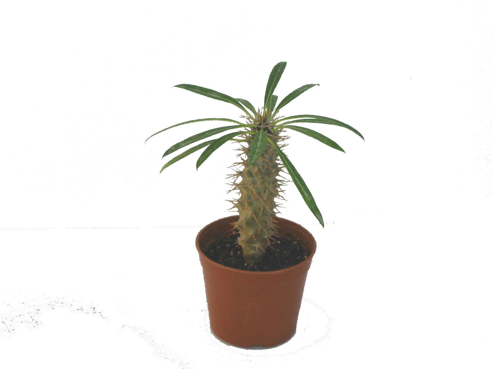 小盆栽 日本 花博园 迷你盆栽 室内观叶植物 栽培基质标准 种苗 园艺资