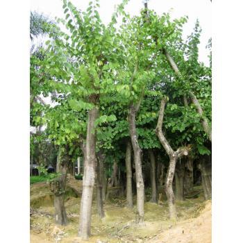 上一个 下一个 >> 红花紫荆(羊蹄甲) 产品类型:绿化苗木 -> 乔木